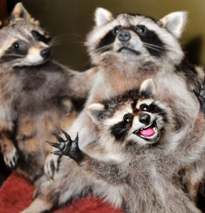 furiouly-happy-taxidermy-raccoon